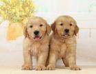 北京出售 金毛犬 保纯种 三针疫苗齐全 健康血统有保障