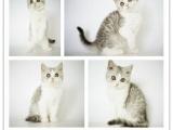 【真实纯种】英短美短折耳猫起司猫幼猫宠物猫公母7只