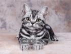 出售高品质虎斑猫超级可爱随时来选保健康