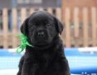 纯种——家养的黑色拉布拉多犬了实物图出售