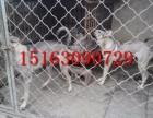 狼青犬多少钱一只,哪里出售纯血猎犬幼犬,精品狼青犬借配出售