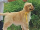 纯种的金毛犬适合小孩养吗 性格怎么样
