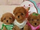 出售家养繁殖泰迪幼犬