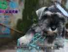 专业犬舍繁殖雪纳瑞 雪老头 签协议 包健康