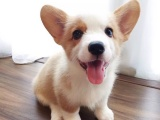 东莞纯种柯基犬一只多少钱 在东莞哪里有正规狗场卖柯基犬