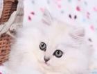 猫舍出售 纯种 金吉拉幼猫 驱虫疫苗齐 包健康