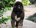 哪里有卖高加索犬高加索犬多少钱高加索犬图片高加索犬幼犬