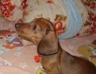 上海哪里有腊肠犬卖 上海腊肠犬价格 上海腊肠犬多少钱