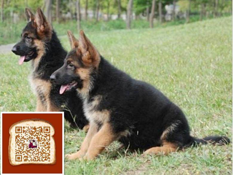 武汉出售纯家养纯种骨架结实毛色黑亮的德国牧羊犬