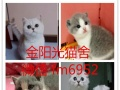 英国短毛猫活纯种幼猫英短蓝猫家养活体宠物猫