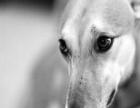 猎犬.细犬.格力犬 灵缇犬 惠比特