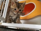 家养孟加拉豹猫宝宝找新家