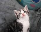cfa美国短毛猫 美短银虎斑 加白起司猫