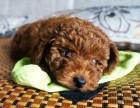 小型犬贵宾泰迪博美 比熊 吉娃娃幼犬上门优惠送用品