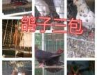 白羽王 特大元宝 公斤元宝 各种观赏鸽 信鸽等鸽子出售