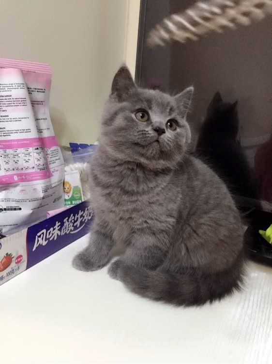 青岛蓝猫怎么卖的 青岛蓝猫照片 青岛蓝白猫的价格是多少