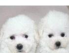 出售可爱不掉毛的比熊幼犬狗狗品质保证包健康纯种