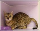 出售纯种 豹猫 北京专业世界名猫繁殖基地质保三年