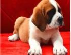 正规犬舍繁殖 纯种圣伯纳 包细小犬瘟 签订协议
