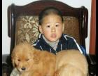 诚心转让繁殖自家繁殖的一窝纯种大头金毛幼犬 可见狗父母