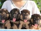 纯种德国牧羊犬 完美品相 质优价廉 签协议包健康