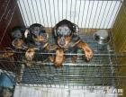 出售高品质纯种美系 德系杜宾幼犬 杜宾价格 杜宾照片