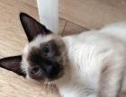 自家养公三个月暹罗猫便宜出