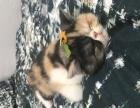自家母加菲生的三个小猫 因总是外出无法照顾 忍痛卖出