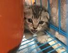 家养纯种的折耳幼猫一窝出售,,公母都有疫苗驱虫已