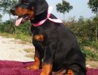 杜宾犬价格 杜宾犬多少钱 纯种杜宾犬多少钱一只