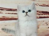 猫舍直销出售 折耳猫 英国短毛猫 蓝猫 包健康纯种