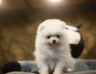 重庆本地出售博美幼犬上门700一只 包健康 包纯种 当面挑选