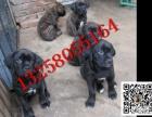 出售纯种卡斯罗幼犬的图片价格 小卡斯罗犬幼犬的颜色齐全
