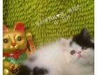 自家养赛级橘眼三花梵乳色加菲猫成母1岁重点色布偶猫转让