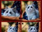 布偶猫双色海豹布偶猫海豹布偶猫纯种布偶猫