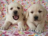 正規犬舍繁殖拉布拉多等名犬 健康保障簽協議包活可送貨