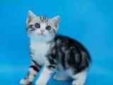 純種美短貓虎斑美短加白起司美國短毛貓寵物貓咪活物