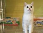 加菲猫 英短 虎斑 渐层 孟加拉豹猫 折耳猫