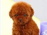 佛山顺德哪里有卖泰迪熊 佛山顺德哪里买狗价格比较便宜