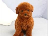 宠物基地 健康纯种泰迪有质保终身售后