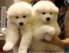东莞萨摩耶 大型养狗场出售多种名犬 签协议