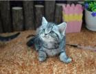 精品美国短毛幼猫 活体纯种猫咪疫 苗齐全公母均有