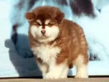 巨型阿拉斯加幼犬出售公母都有 包健康包纯种