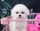 兰州哪里可以买到纯种的比熊犬 比熊多少钱一只 小体比熊出售