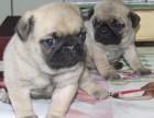 北京犬舍出售热卖纯种巴哥幼犬全国发货包健康