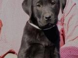伴侣犬拉布拉多、专业繁殖、品质保证、实物拍摄
