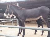 山东大型肉驴种驴养殖场、常年销售德州驴、
