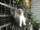 完美布偶猫-蓝双-带CFA血统证书,猫舍开业大酬宾