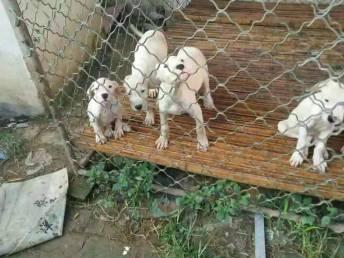 出售家養杜高犬幼犬