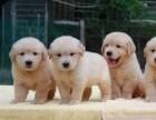 西安狗狗之家长期出售高品质 金毛 售后无忧